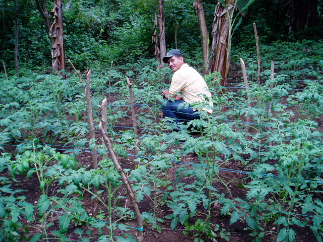 Ismael out checking the mariposa tomato plot