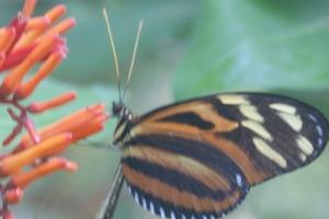 A Mariposa in our garden