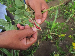 Beans ready to harvest in Camille Ortega...but there is less than one third of a normal crop
