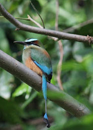 Nicaraguas national bird.....the guardabarranco. Alreday there are several living on the new land.