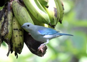 The beautiful blue grey tanager, one of our breeding residents