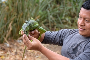 Marlon releasing a rare green iguana back into the wild