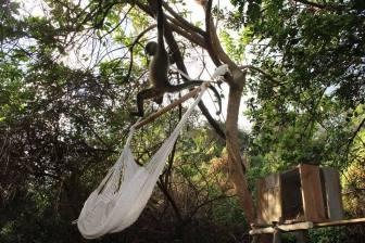 Monkey at Cañada Honda